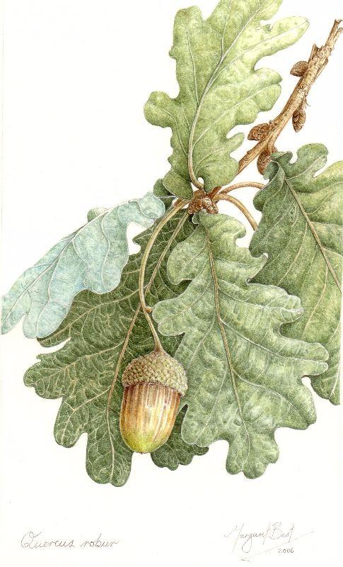 leaves and acorn, Quercus robur, English oak – Margaret Best