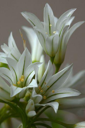 Alium triquetrum by mariluzpicado, via Flickr (via Pin by Melanie E on Flowers   Pinterest)