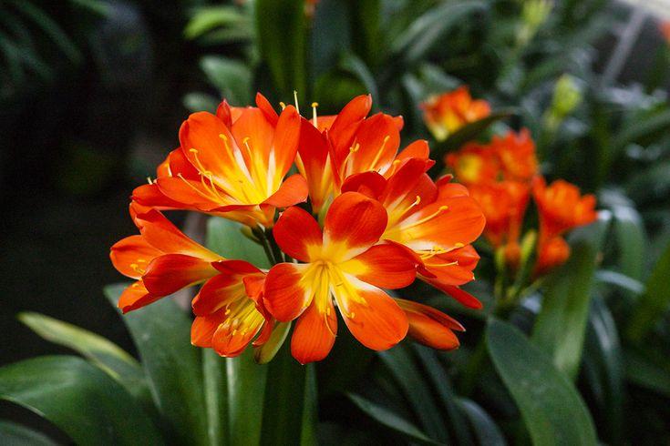 Clivia miniata, Sabrine Delphine x T. Barnes Best Red.  Colorado Clivia's plant no. 2003A.