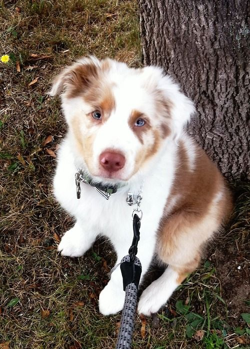 Australian Shepherd puppy.  Cutest!