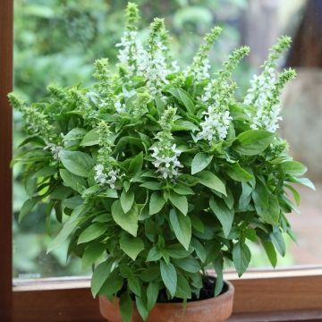 My home cures for mosquito bite itch: Basil.  Just  rub a basil leaf on mosquito bites and it stops itching. Basil have anti-inflammatory properties and this cure really works!