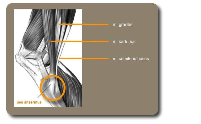 pes anserinus spieren