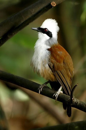 White-crested Laughingthrush: Himalayan foothills to Indochina...what a sweet looking bird!