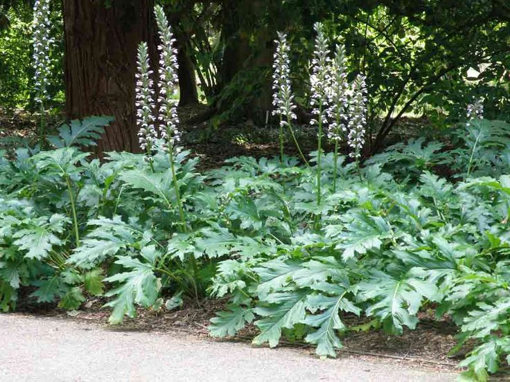 Acanthus 'Summer Beauty'- heat resistant strain