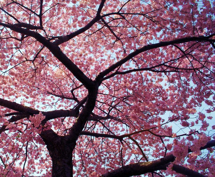 Cherry blossom trees bloom in the spring. (:2770 x 2288   2.4 KB   hotsparklypink.edublogs.org