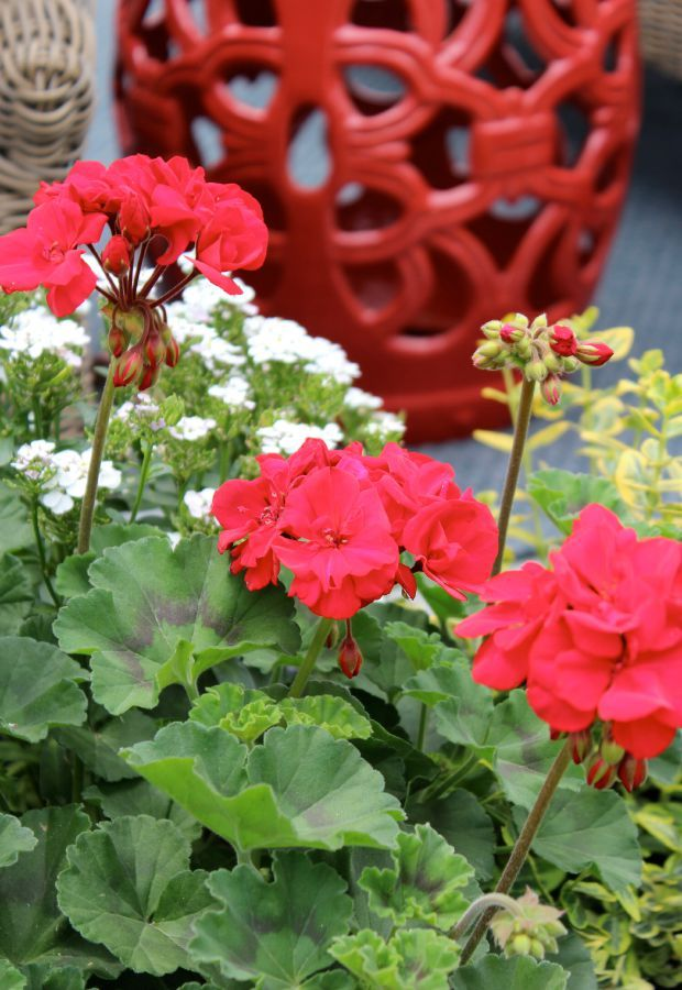 Add Geraniums To Your Outdoor Space For A Pop Of Vibrant Color And Texture  All Season