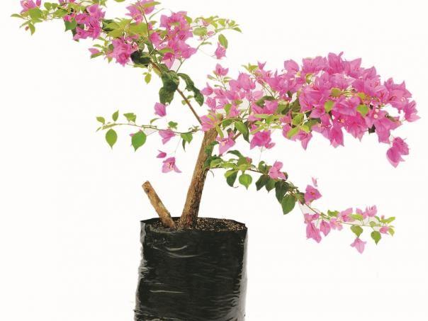 Las trepadoras o enredaderas son de las plantas más versátiles. Éstas pueden ser cultivadas contra una pared, sobre pilares, alrededor de pérgolas, y aportan un elemento vertical clave en el diseño…