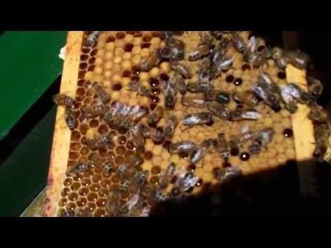 * ▶ Bijen in de bijenkorf deel 1