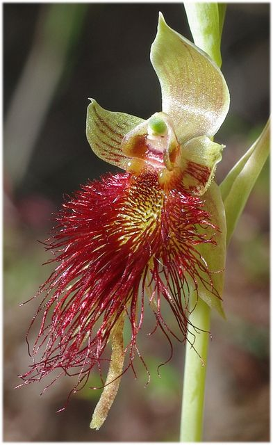 Bearded-Orchid - Calochilus paludosa, by Tony Pterostylis
