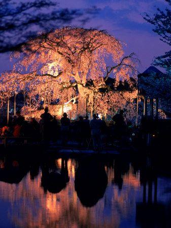 Giant Cherry Blossom Tree in Maruyama Park, Kyoto, Japan