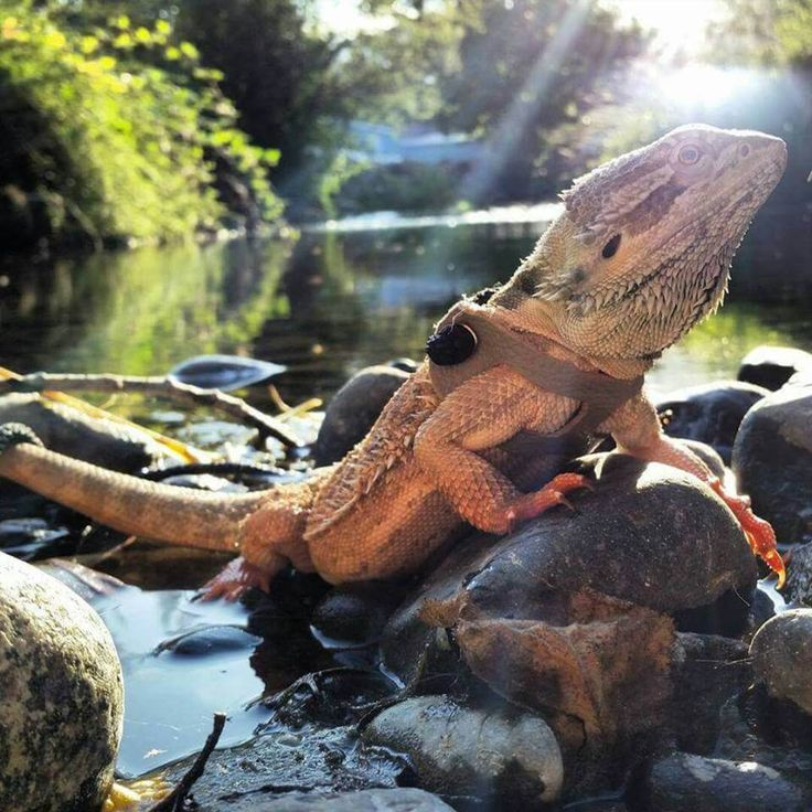 The 10 Best Bearded Dragon Toys And Activities | Bearded Dragon Tank