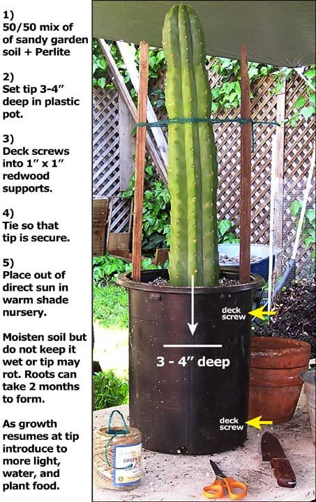 Growing San Pedro Cactus, Or Trichocereus Pachanoi, A Rapid Growing  Landscaping Plant.