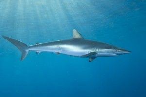 Silky Shark | Silky Shark - The Great Fiji Shark Count