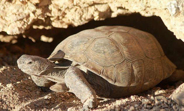 Картинка пустынная черепаха