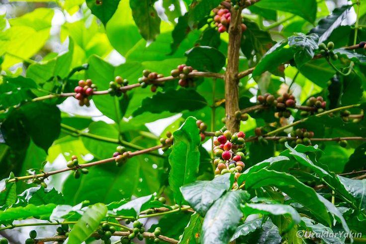 Güne güzel bir kahveyle başlamak iyi olur degil mi?  Kolombiya kahve üretim sıralamasında Brezilya ve Vietnam'dan sonra 3. sırada yer alıyor. Bir çok dağlık bölgesinde kahve yetiştiriliyor. Minca'da kahve plantasyonlarını ziyaret edip tadım yapmak sevenler için güzel bir fırsat olacaktır. #uzaklaryakin #santamarta #minca #colombia #kolombiya #gezgin #macera #yolculuk #cokgezenlerkulubu #turkishfollowers #gezi #traveltheworld #seyahat #photography #photooftheday #photographers_tr #fotograf…
