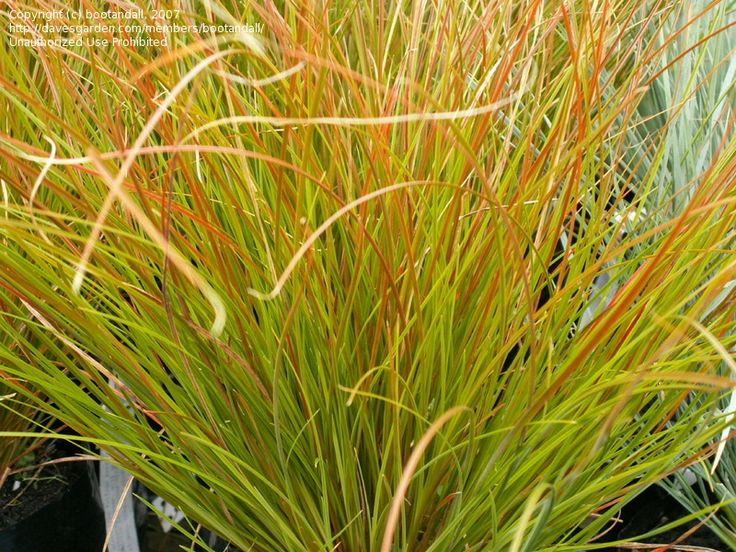 Orange New Zealand Sedge Carex Testacea Lovely Color Low Growing Kinda Invasive Full Sun