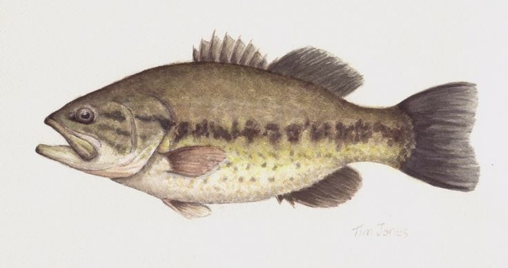 largemouth bass template - photo #34