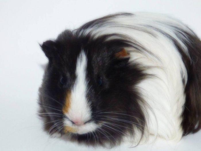 Chiffon cochon d'inde mâle