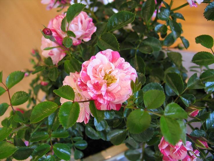 20 Best Images About Flower Carpet Pink Splash Roses On