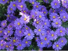 """Aster dumosus """" Augenweide """" - astra,hvězdnice Zahradnictví Krulichovi - zahradnictví, květinářství, trvalky, skalničky, bylinky a koření"""
