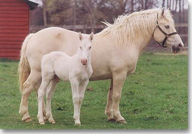This is the breed of horse that will have a home on my farm.  American Cream Draft Horse.