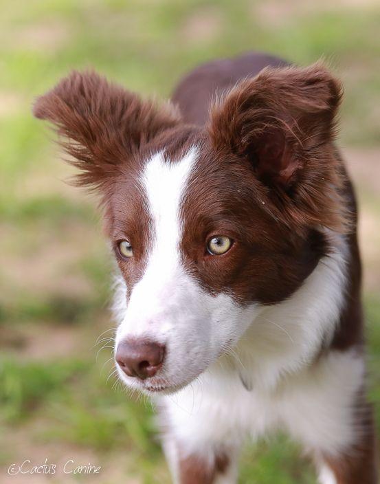 Red Border Collie Puppy at 6 months.