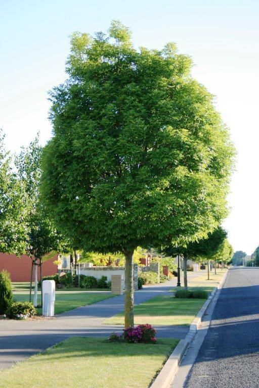 Fraxinus excelsior – Green Glow – Purchase Bare Rooted Trees Online