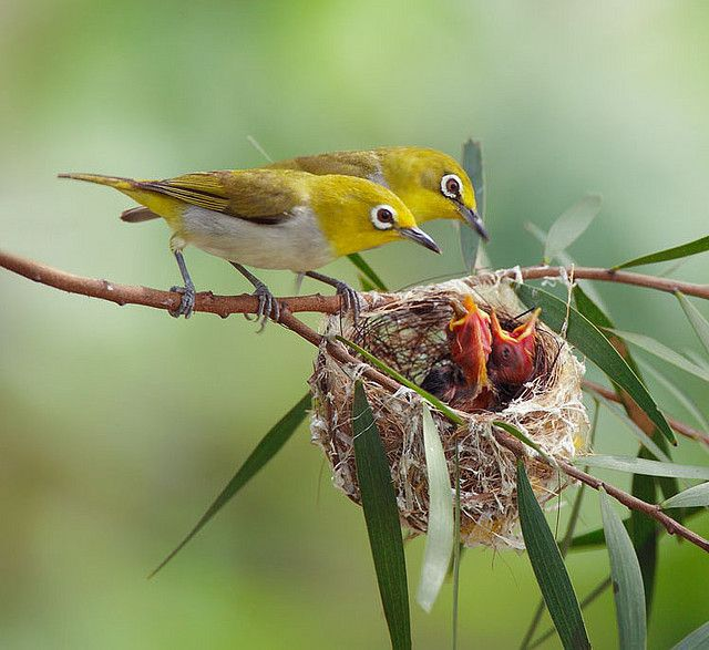 japanese white eyes.