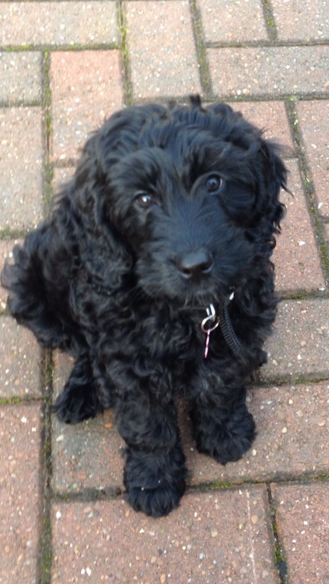 (Izzy, the black cockapoo puppy) Looks very much like my childhood adopted cockapoo.  So sweet and patient. (If you adopt, please don't overlook the black ones - they can be wonderful companions, too!)