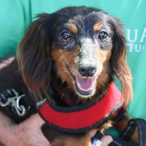 ADOPTED!!  Freeport FL  - Meet Wayne, a Petfinder adoptable Dachshund Dog LOCATED at Alaqua Animal Refuge.
