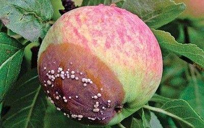 Плодовая гниль имеет обыкновение развиваться на семечковых и косточковых деревьях. Этот сезон отличается очень высокой влажностью, что, конечно же, благоприятствовало развитию болезни. Есть сорта, …