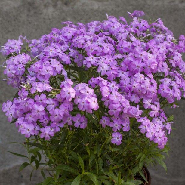 Les 170 meilleures images du tableau fleurs sur pinterest couvre sol fleurs et plantes - Phlox vivace couvre sol ...