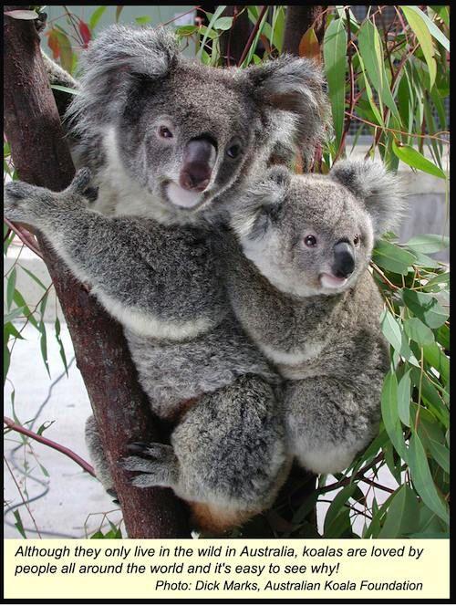 Cuddly koalas!