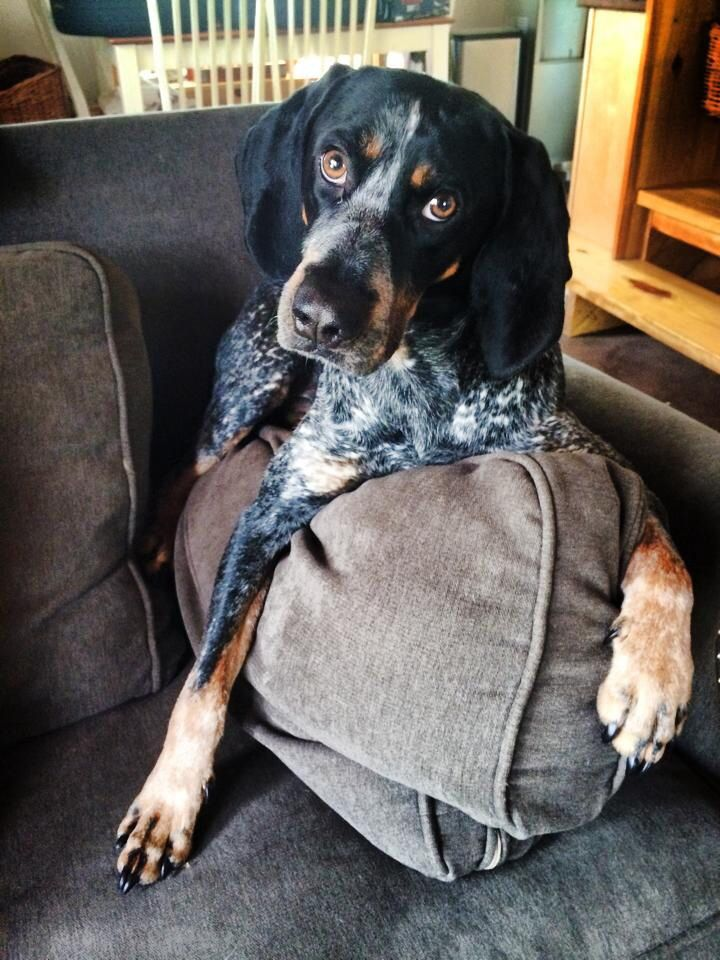 Ollie the bluetick coonhound