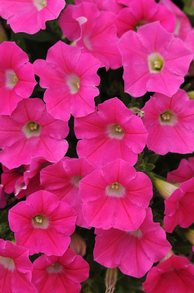 70 PETUNIA SHOCK WAVE ROSE Live Plants Plugs Garden Home Planters 187  | eBay