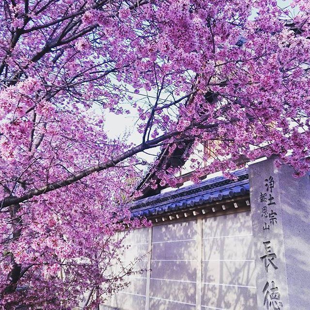 【lightgreen0808】さんのInstagramをピンしています。 《京都出町柳駅横にあるお寺。去年の桜ですが、早咲きです。気が早いですが、来月ですねー😆  #京都 #出町柳#長徳寺 #桜#早咲き》