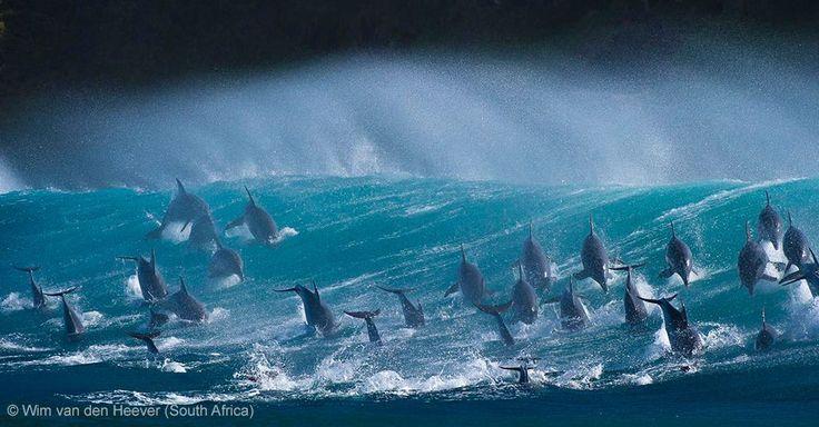 BBC Wildlife Awards 2013 - ANIMALS IN THEIR ENVIRONMENT - RUNNER UP: 'Surfing Delight' by Wim van den Heever