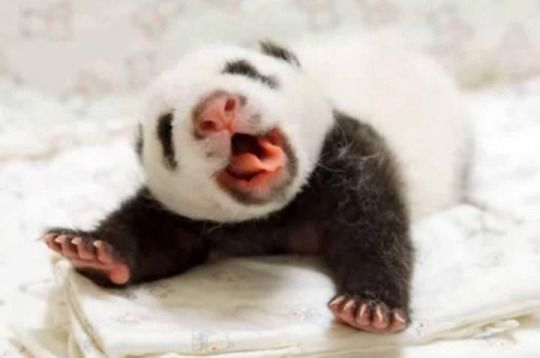 Miilkytah Baby panda