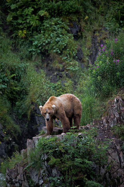 A Bear on Kodiak Island in Kodiak, Alaska... Kodiak, Alaska had lots of bears!