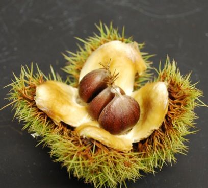 A bur with transgenic American chestnut nuts. Photo by Andy Newhouse, SUNY-ESF