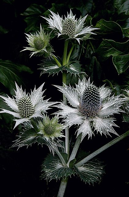 Sea Holly [Eryngium; Family: Apiaceae] - Flickr - Photo Sharing!- Flickr - Photo Sharing!