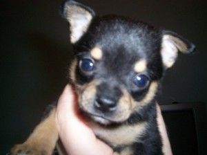 Chihuahua Puppies Deer Heads And Chihuahuas On Pinterest