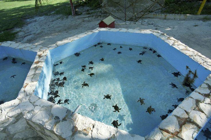 Sea  Turtle hatchery at Cayo Largo Cuba