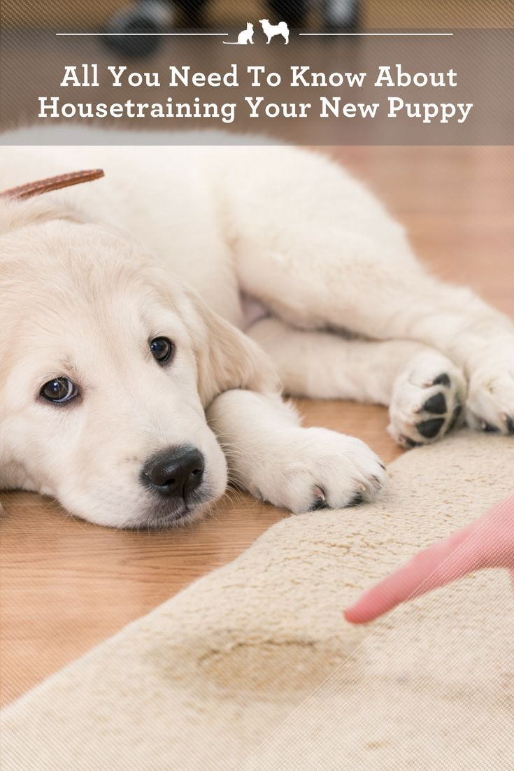 All You Need To Know About Housetraining Your New Puppy House Training Puppies Dog Pee Potty Training Puppy