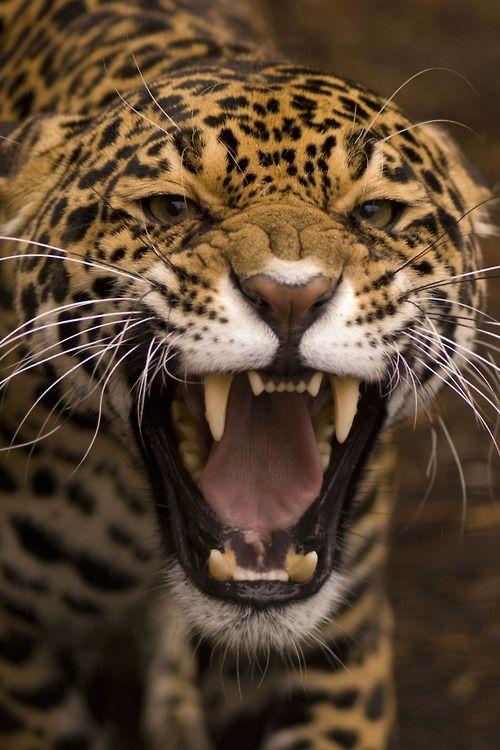 Jaguar (Panthera Onca) — Lydia Molyneux