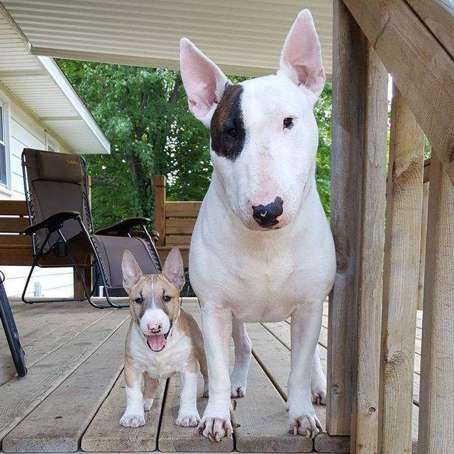 Big Dog Little Dog Miniature Bull Terrier Bull Terrier