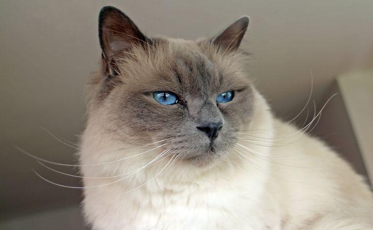 De Birmaanse kat, die vaak Heilige Birmaan wordt genoemd, hoort, gelet op onder meer zijn karakter, lichaamsbouw en vachtlengte, thuis tussen de Siamese kat (Siamees) en de Perzische kat (Pers).