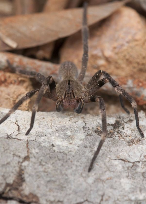 7 Of The Worlds Most Venomous Spiders Brazilian Wandering Spider