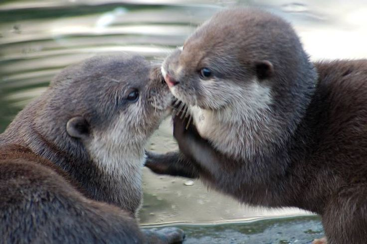 TWO SUPER CUTE GIANT OTTERS