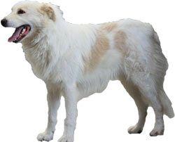 race de chien de berger du haut atlas